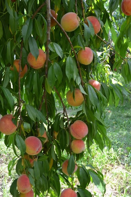 a peach tree branch full of peaches