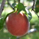 a single rip peach on a branch