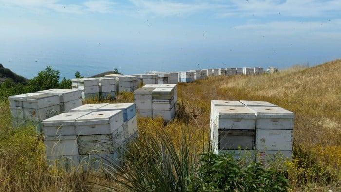 Bloom Honey production