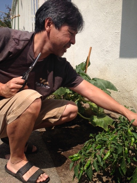 Growing Shishito peppers