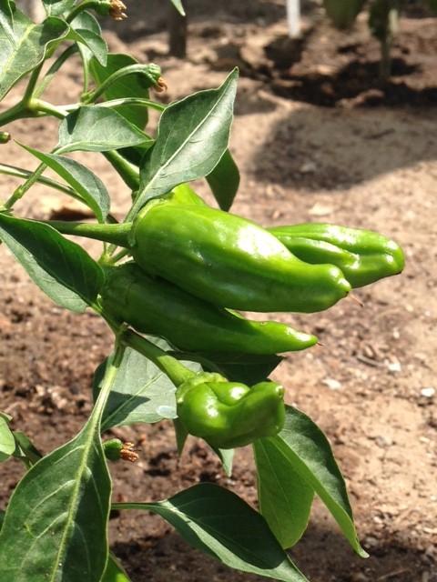 Garden Shsishito peppers