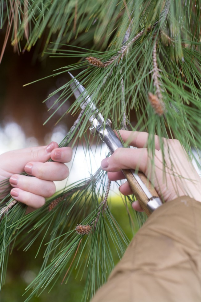 Gathering pine needles for a warm, soothing, Healing Conifer Tea