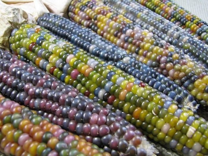 American Artisans: Native Seeds Glass Gem heirloom corn