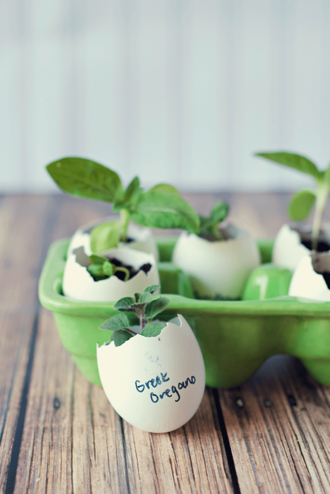 mini seed starters made from eggshells