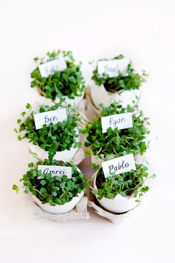 eggshells made into planters for microgreens