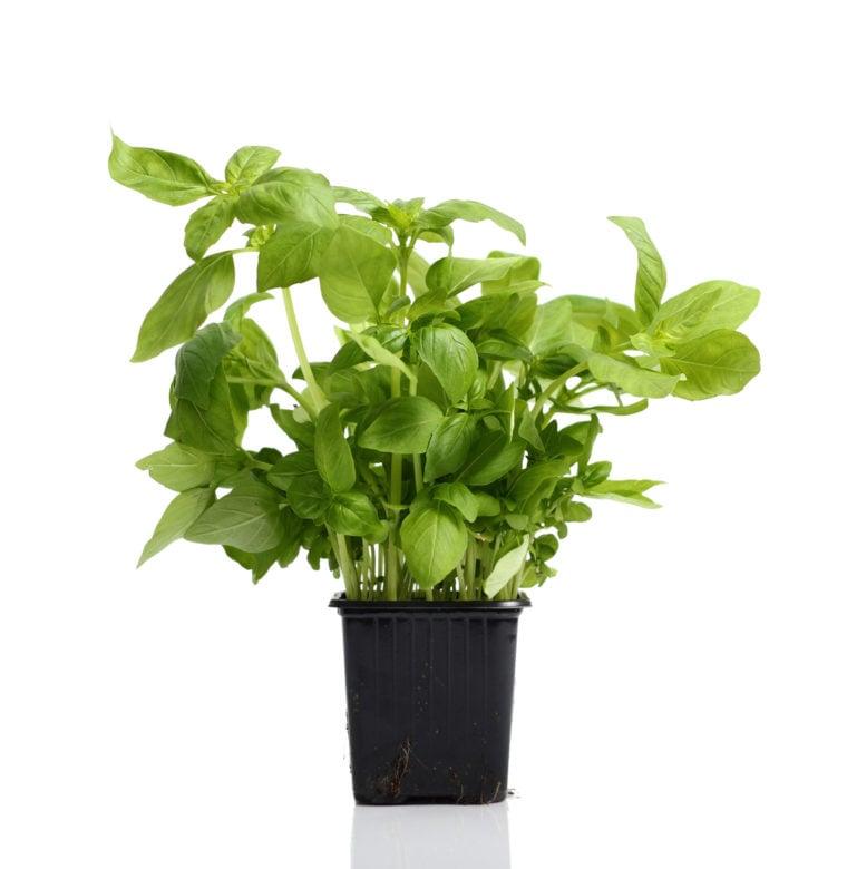 Trader Joe's Fresh basil plant