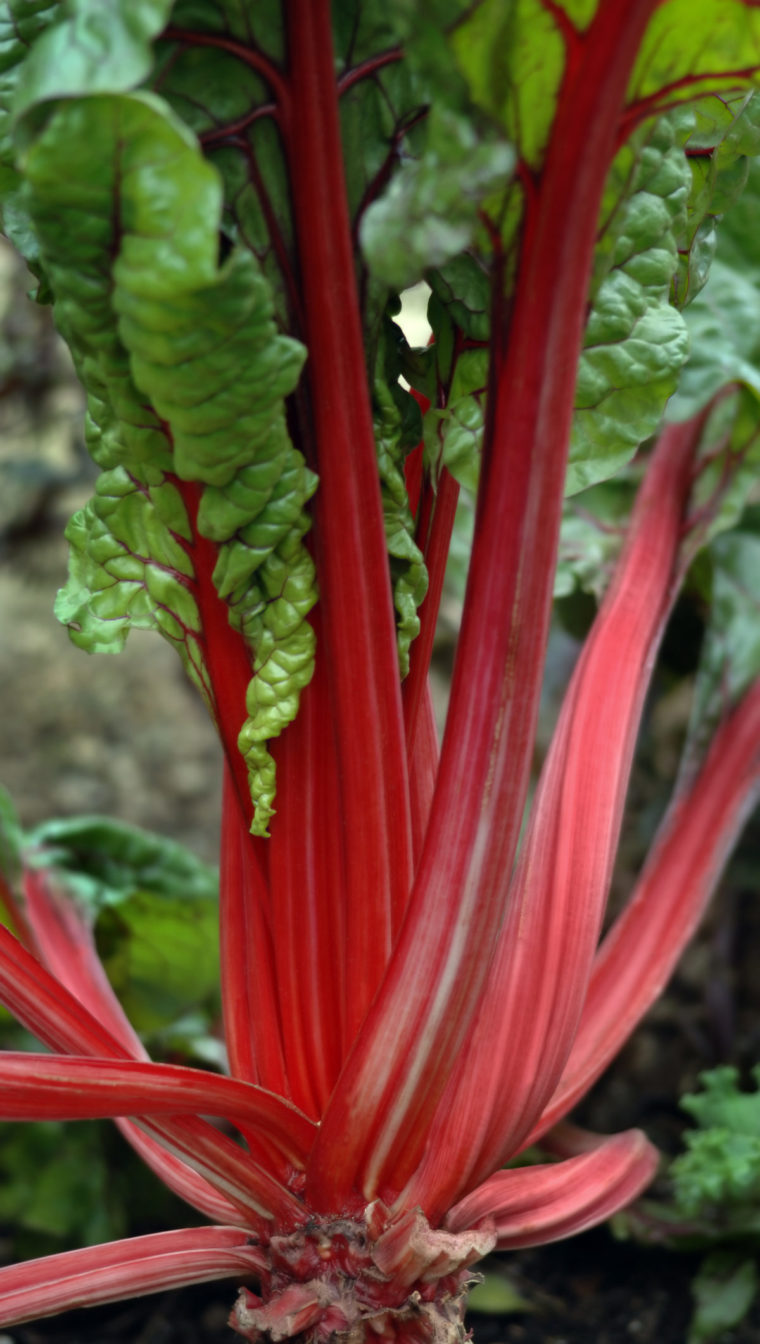 Growing rhubarb