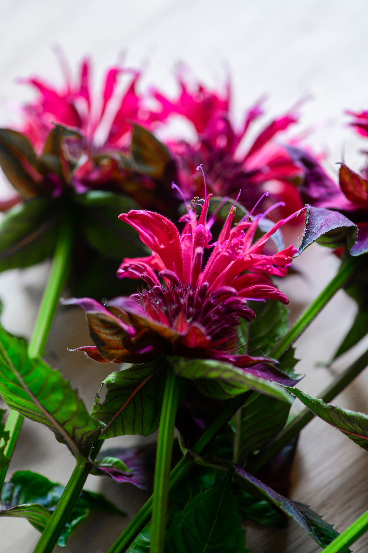 stems of raspberry bee balm