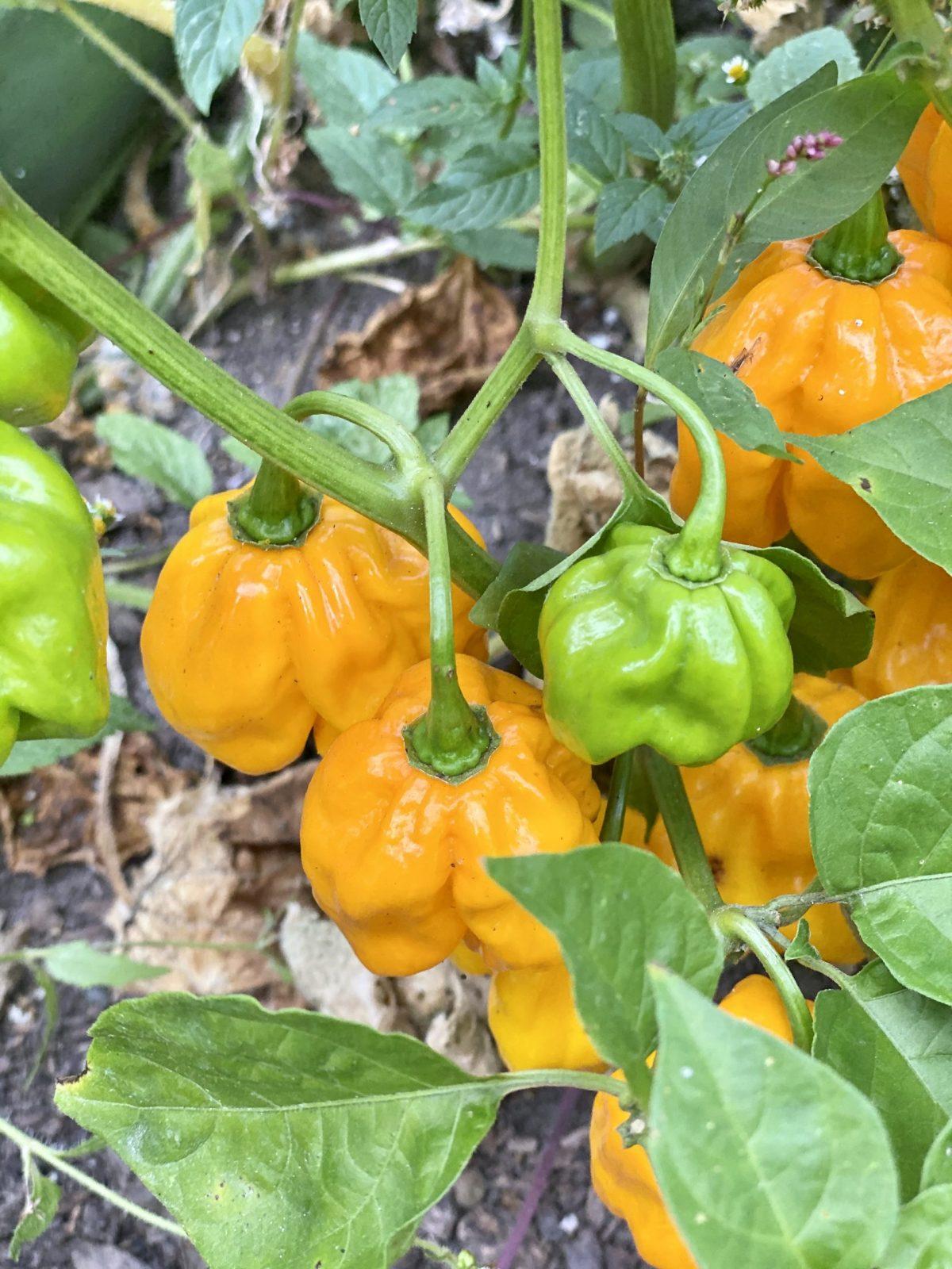 habanero peppers in the garden