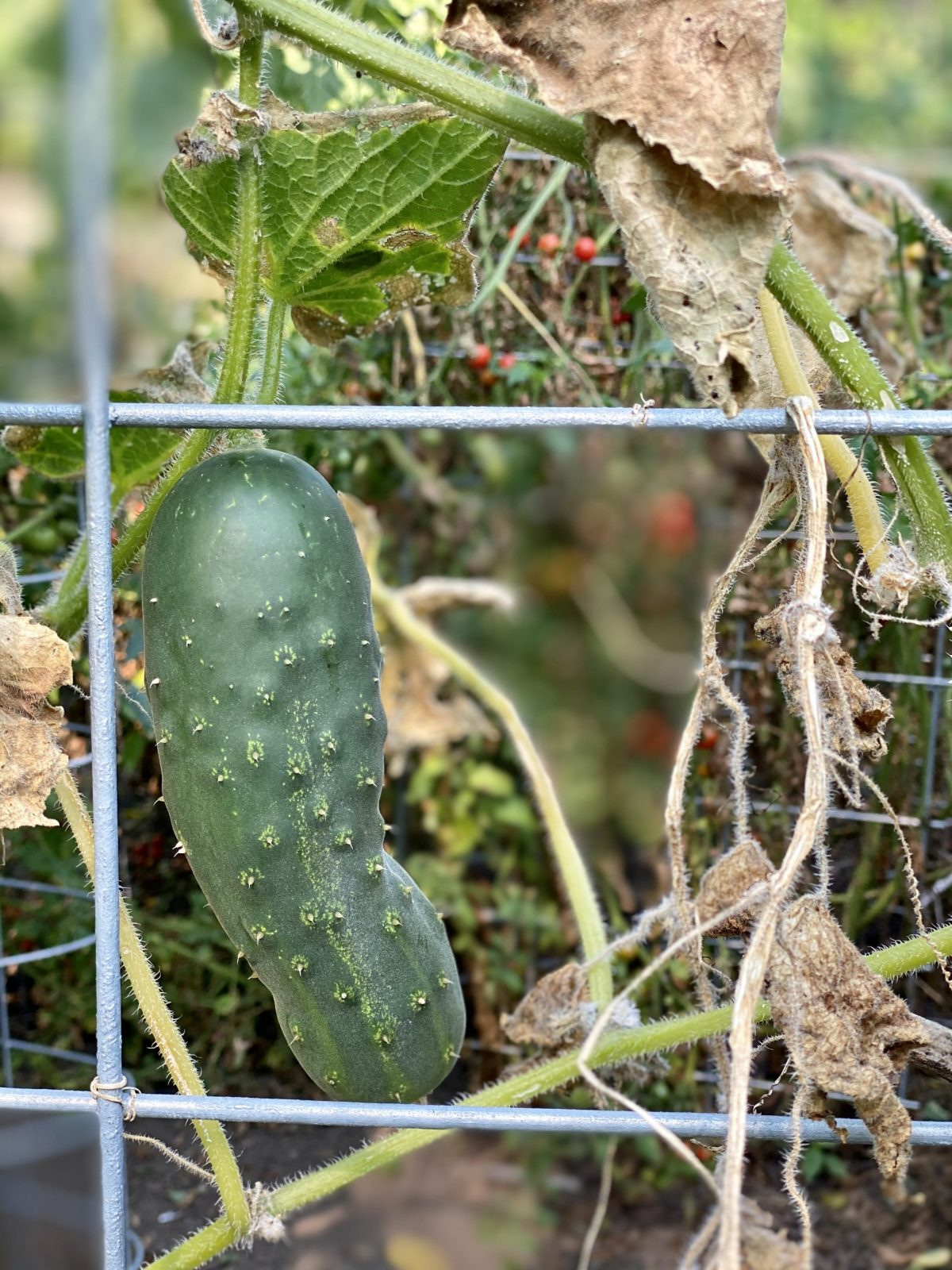 cucumber in the garden