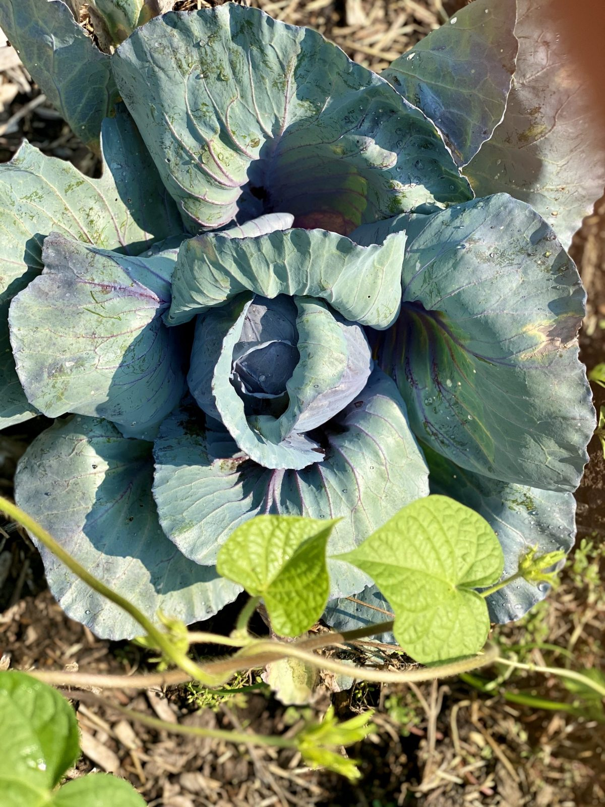 a head of cabbage in the garden